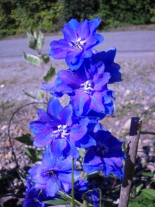 "Delphinium, maybe ""Pacific Giant""?"