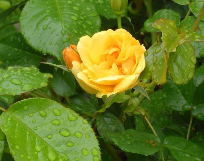 First bloom on Julia Child