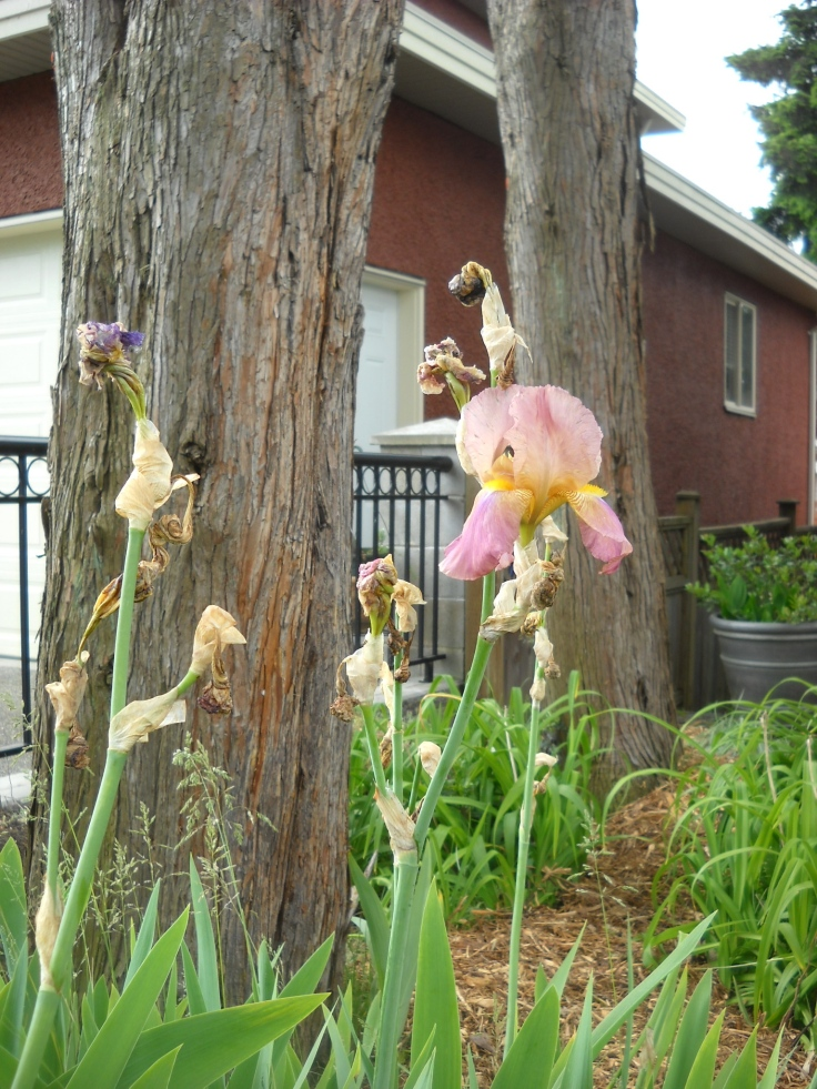 Last bloom of the irises--can be sacrificed for the sake of getting rid of the unsightly stalks.
