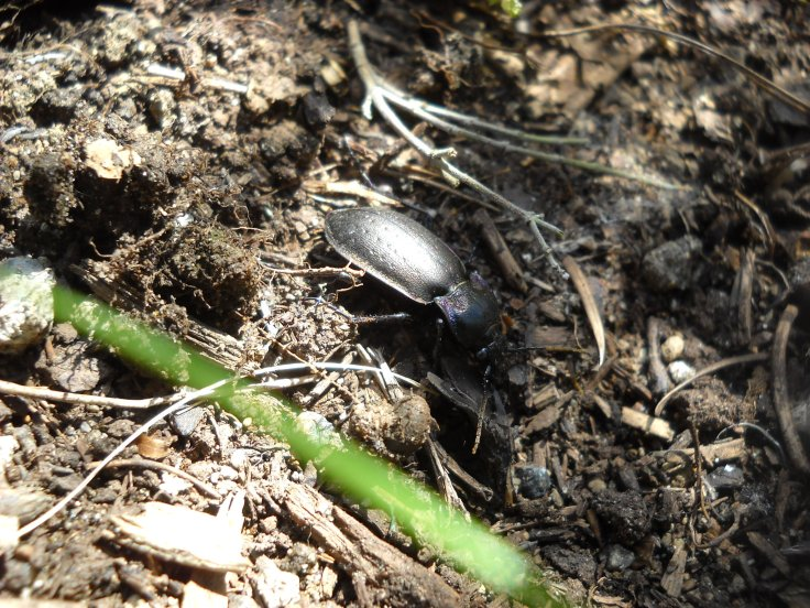 This beetle looks pretty rough,  but it's a great garden helper.
