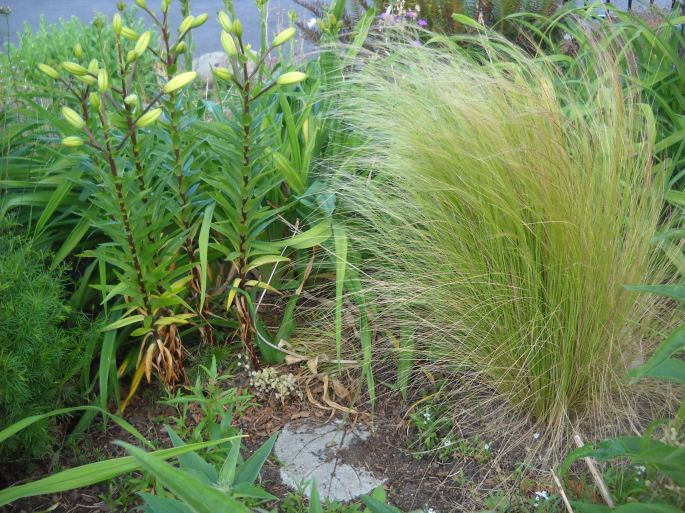 This is the same spot as the picture at the top of the post. Grasses, lilies and (not visible in the picture but off to the left) coreopsis--all hiding the tulip leaves. I won't bother cutting them off, they'll be compost by the end of the year.