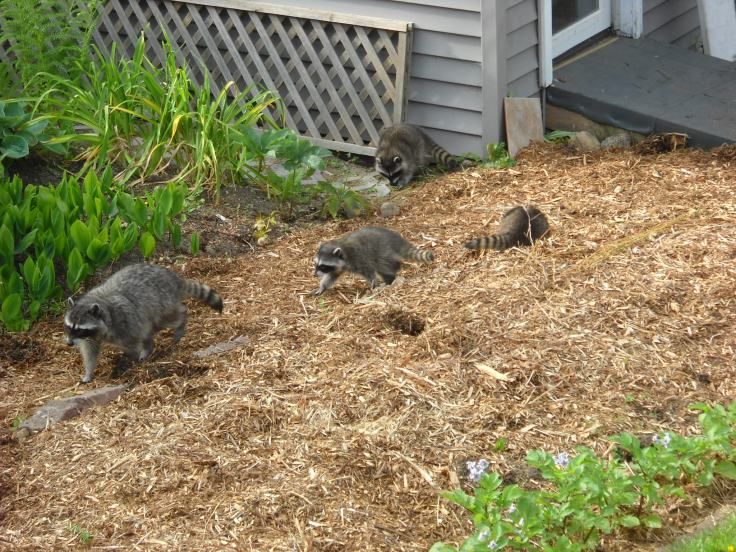 But I didn't really thing about the entire family--clearly mum's been teaching them how to dig.