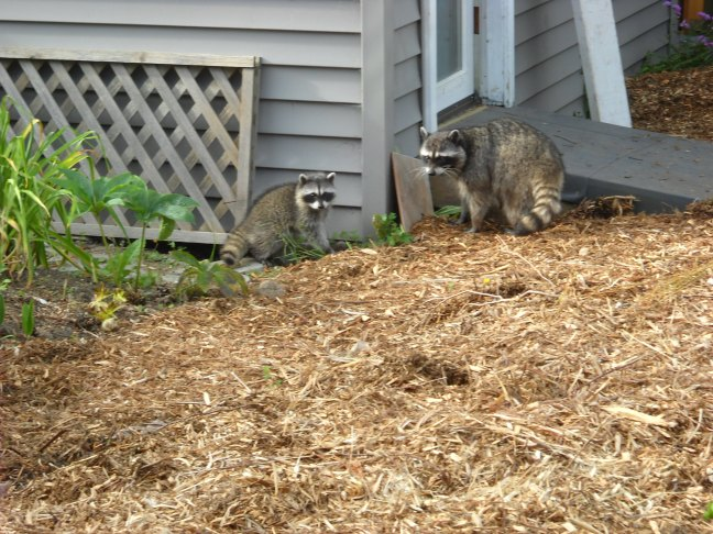 Tried to scare them away-- but we knew racoons--especially mummy racoons-- aren't really afraid of humans!