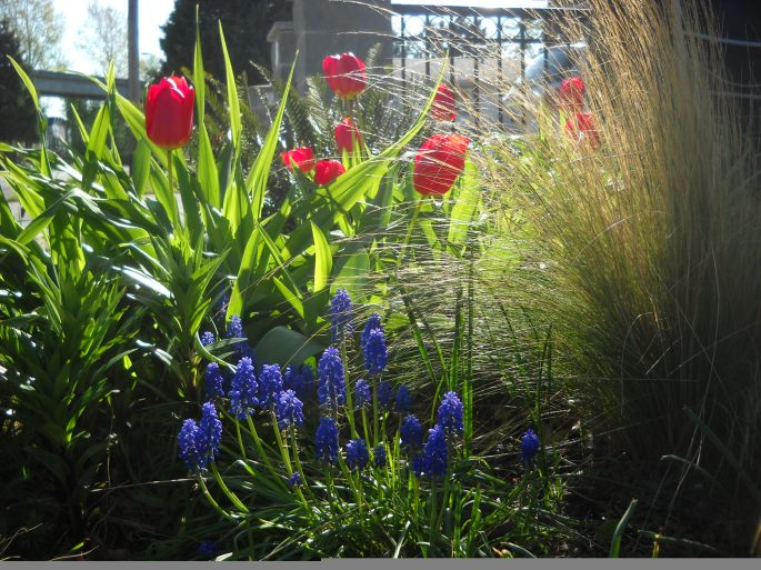 Evergreen Stipa tenuissima complements growing bulbs
