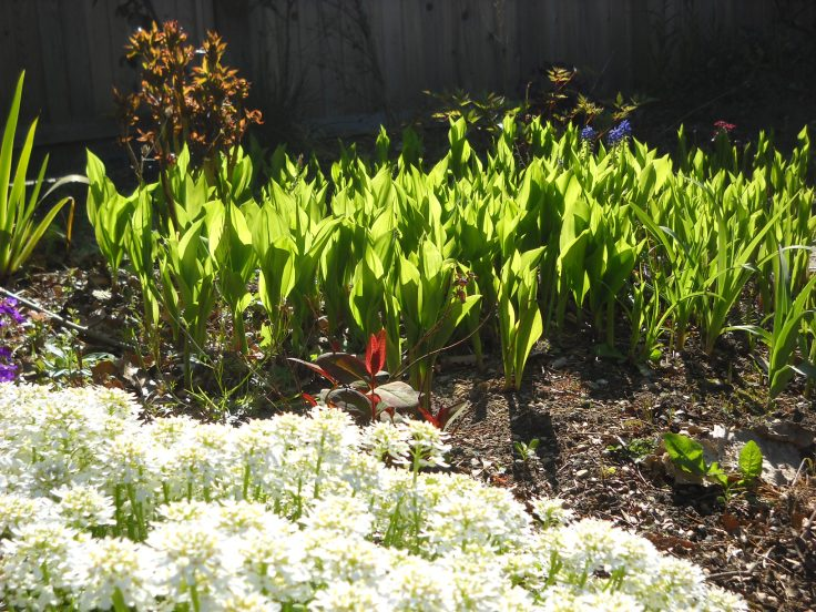 Bed of lily-of-the-valley (Convallaria magus).