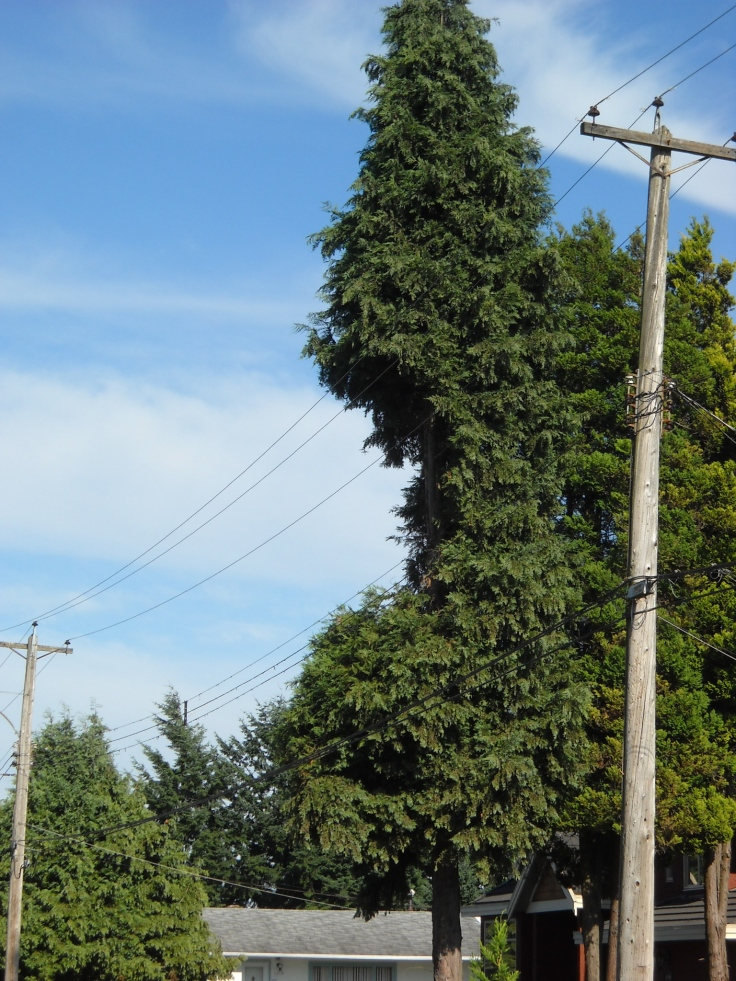 This tree was already badly pruned away from the utility lines, when they came last Fall and chopped away mercilessly