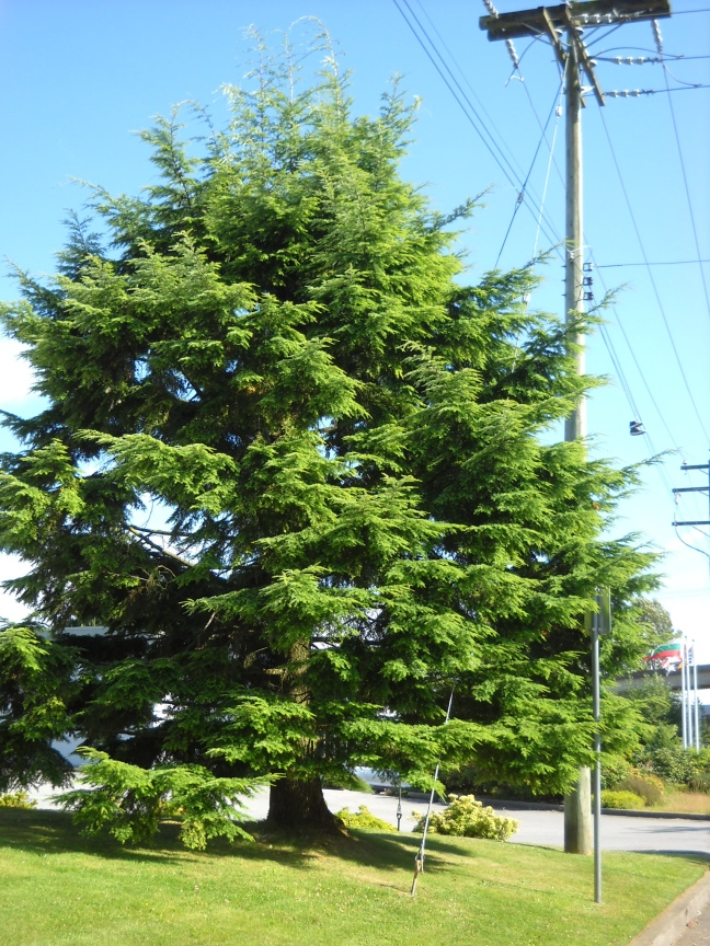 How long before this spruce succumbs to the chain saw?