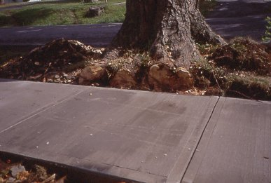 Maple trees have large vigorous roots that don't do well near sidewalks.