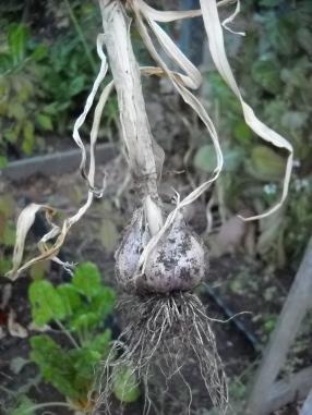Garlic--wish I know what variety.