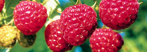 hero-raspberry