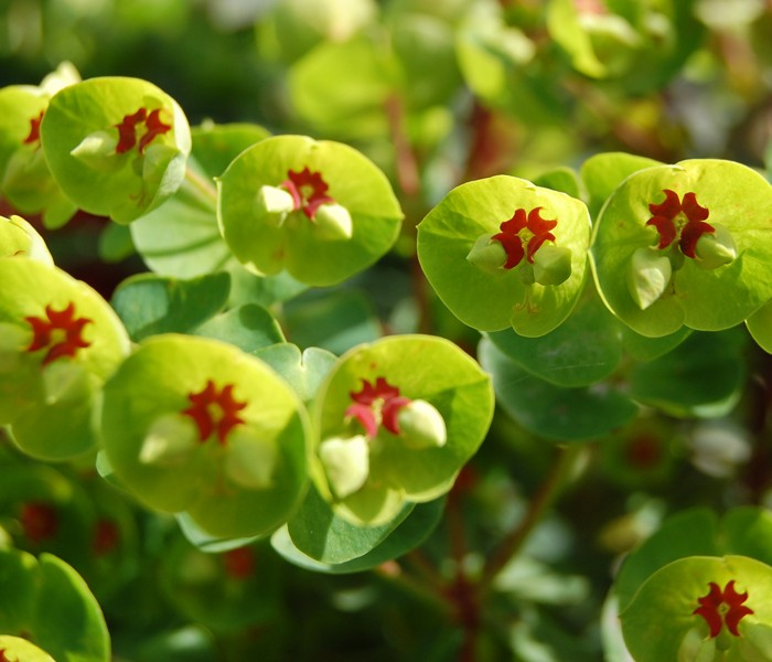 Thanks tohttp://loghouseplants.com/plants/shop/euphorbia-x-martinii-tiny-tim-spurge/