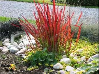 Red-baron-Imperata-cylindrica-SADNICA_slika_XL_3062736