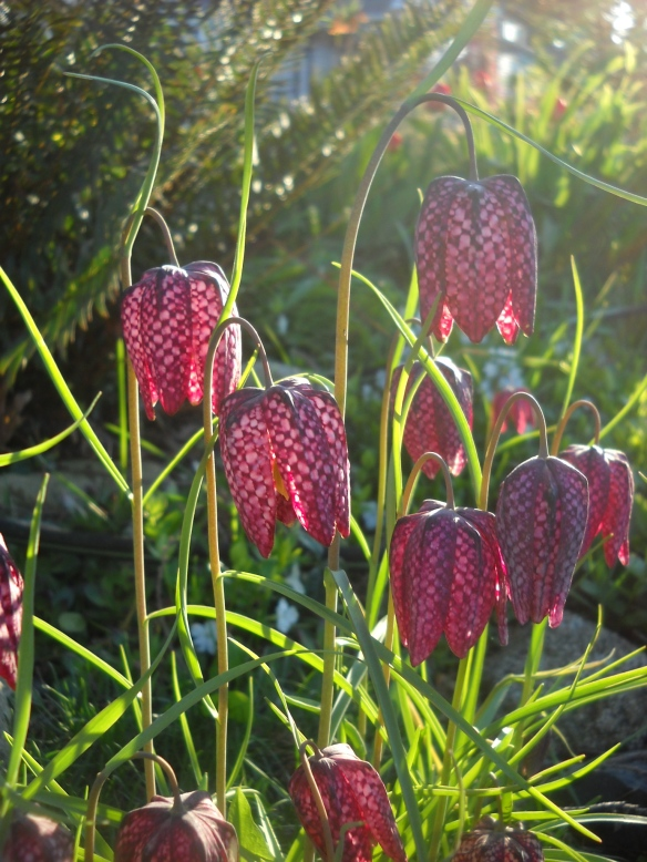 This might be my favourite spring bulb--Fritilaria mealagris