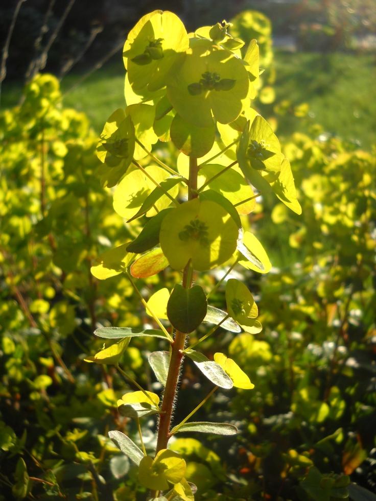 Euphorbia amygldaloides