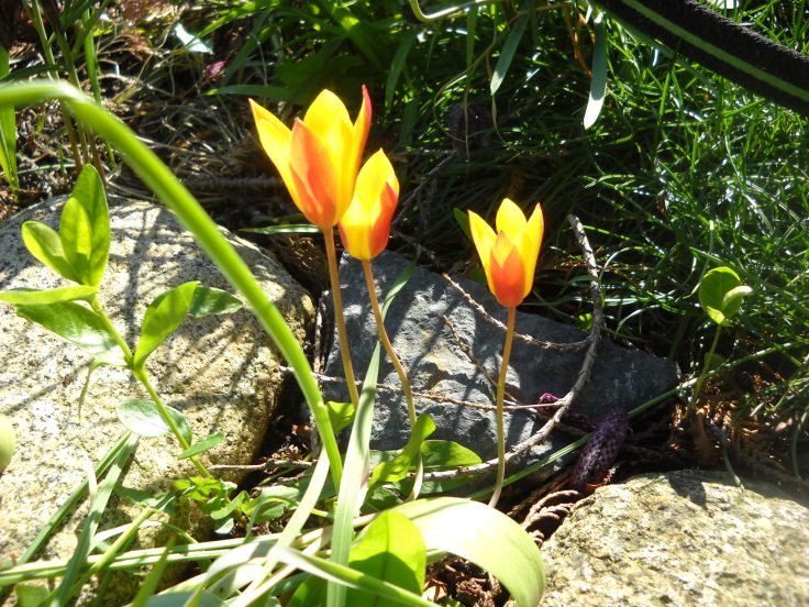 Even your teeny tiny botanical tulips.