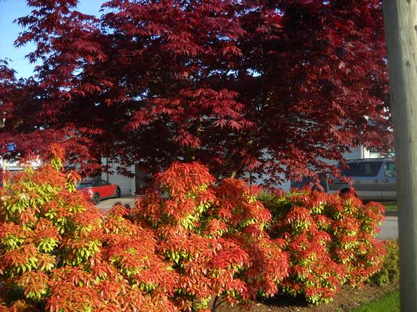 Morning sun front-lighting this Japanese Maple