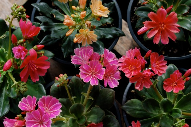Thanks to Wild Ginger Farms for the picture of Lewisia cotyledon 'Sunset strains'