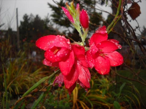 Shizostylis (Kaffir lily)