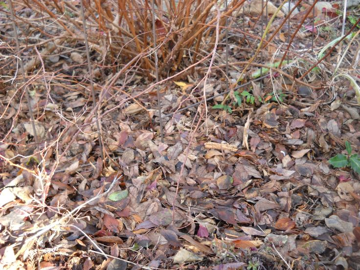 Rose leaves kind of indistinguishable  from surrounding wood chip mulch. maybe I'll leave then there after all...