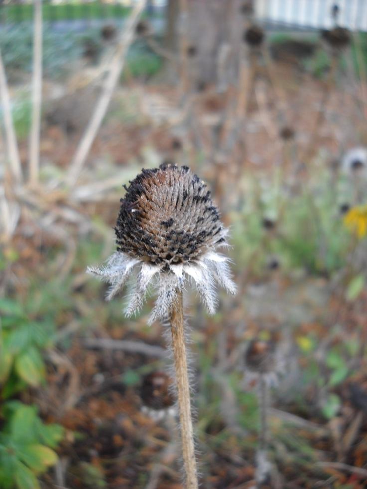 Rudbeckia seed head