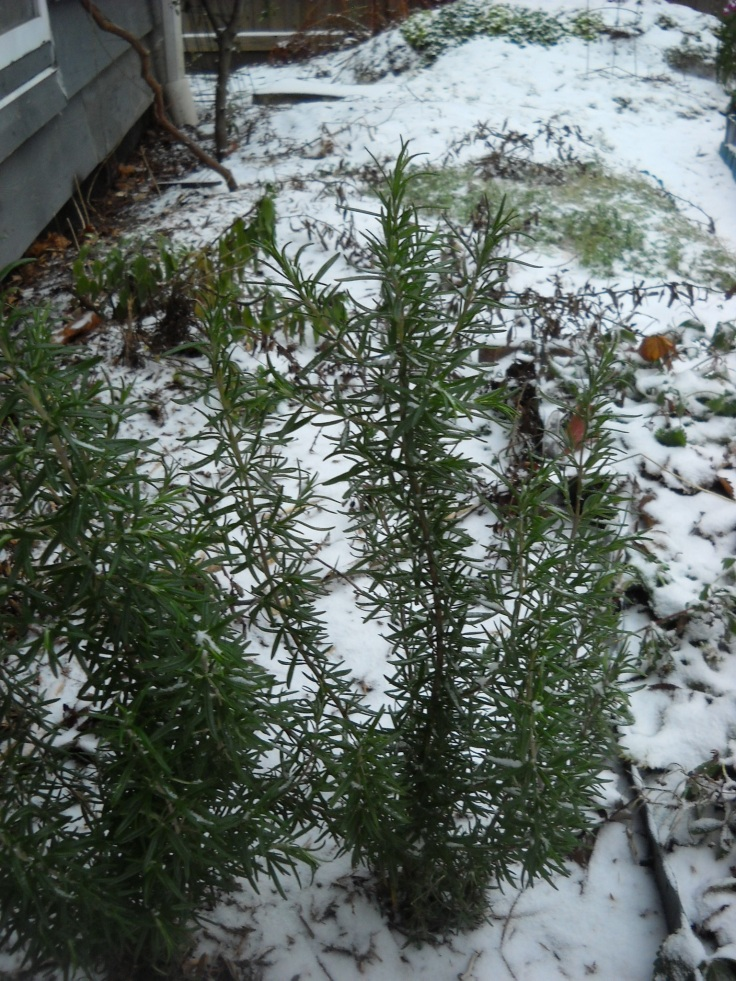 Rosemary--Rosmarinus officinalis