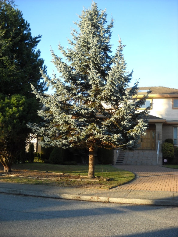 Blue Spruce in the neighbourhood.