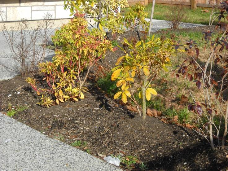 Very sad little rhodo in a brand new planting bed--the duplex was just finished in the Fall.