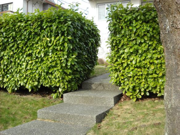 Not only is the concrete walkway too narrow, the depth of the laurel hedge is a good 4'. There are better ways to plant a hedge.