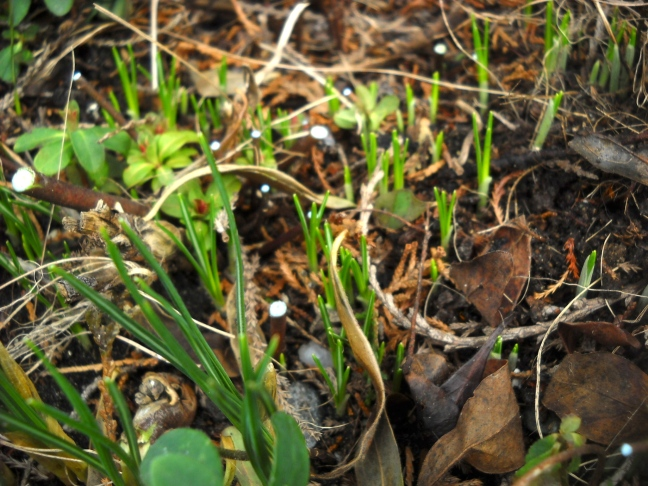 And more crocuses visible after cutting down some of the Euphorbia. You