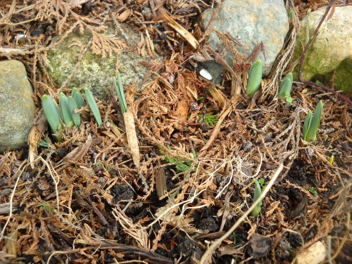 And who remembered--daffodils sprouting up!