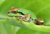 pacific-chorus-frog