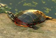 Painted Turtle, not to be confused with Slider Turtle, which is NOT native,.