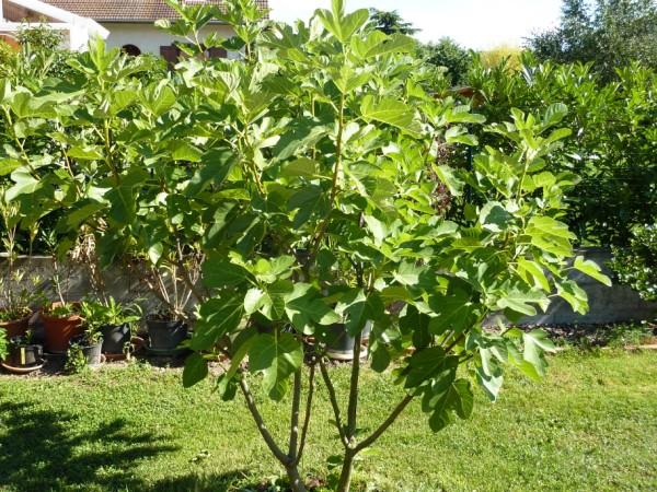 Desert King fig tree. Photo Credit