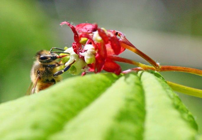 Honey-bee-on-vine-maple-2