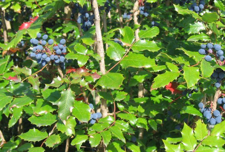 The blue-black berries that follow flowers on Mahonia aquifolium. Photo Credit.