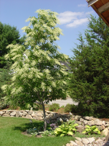 Oxydendrum-arboreum-Sourwood1-225x300
