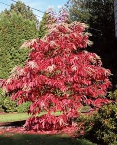 Oxydendrum-arboreum-Sourwood2-241x300