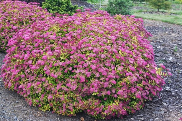 Spiraea.japonica.Magic Carpet.