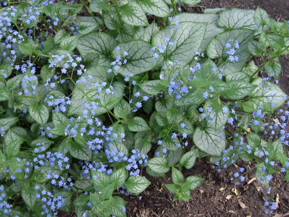 Brunnera macrophylla 'Jack Frost'. Thanks to Northern Shade Gardening for the photo.