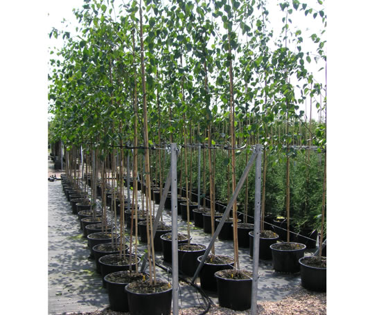 Container_grown_trees_5