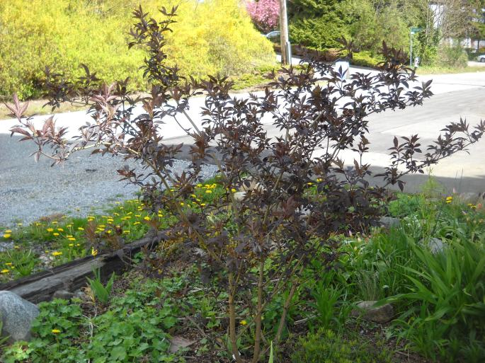 This Sambucus (Black Elderberry) 'Black Beauty' forms a dense shrub with light pink flowers later in spring. Can be small tree-height.