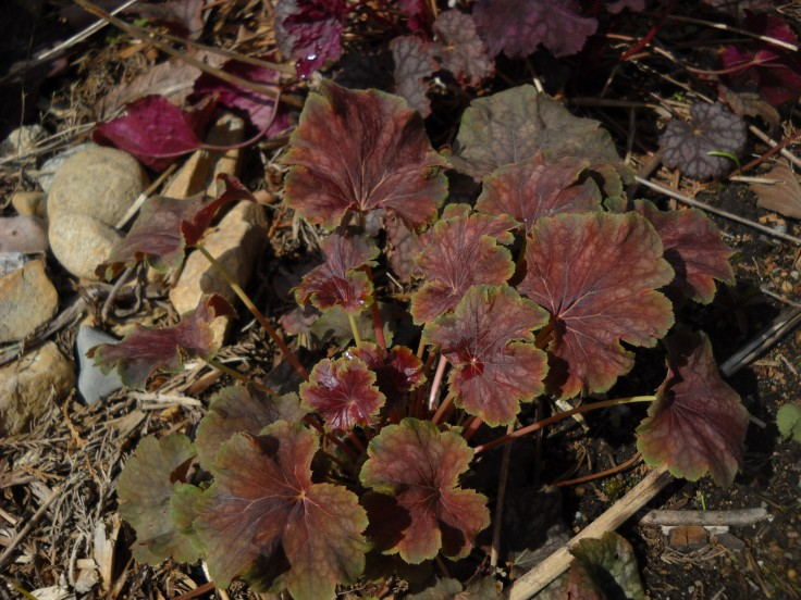 Another Heuchera--it was already here when I moved in, so don't know what cultivar it is.