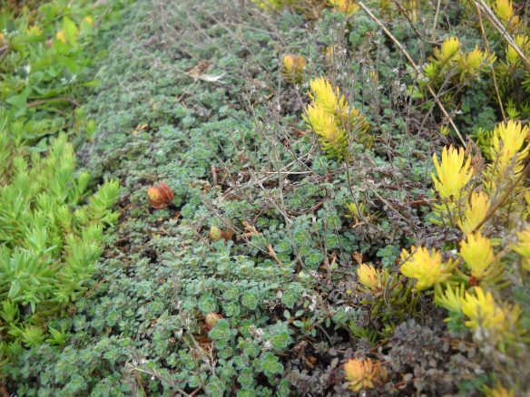 Wooly thyme.
