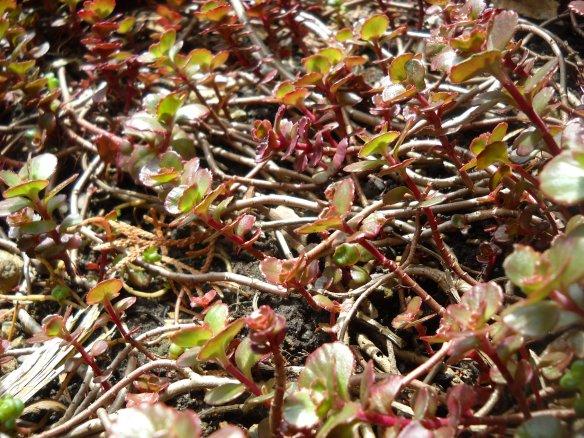Most low-growing sedums