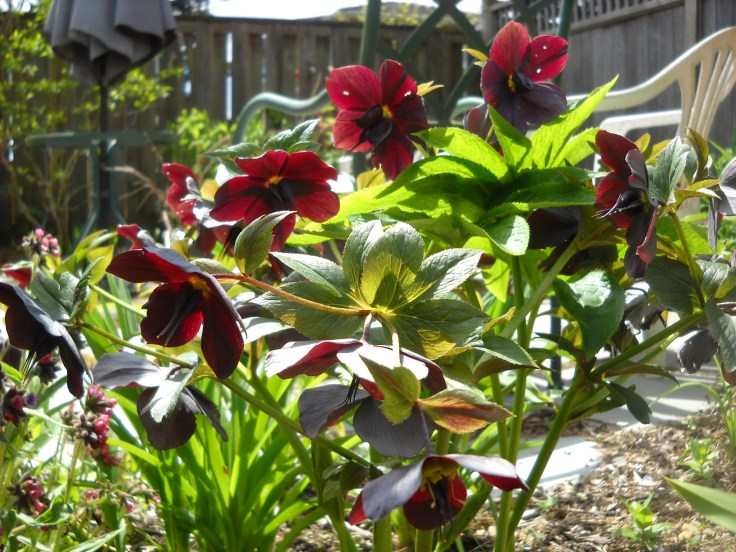 Hellebore--don't know what cultivar.