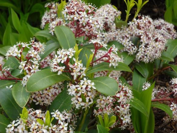 Dwarf Skimmia japonica