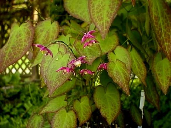 Epimedium sempervirens. Photo Credit