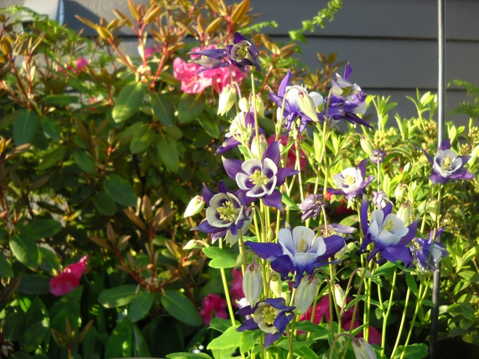 Aquilega (Columbine ) with Rhodo 'Will Brit' in the background