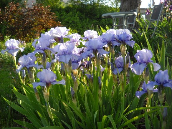 Favourite  bearded iris.