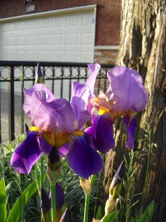 LEss favourite bearded iris. All of my irises were given by friends, none have cultivar names.